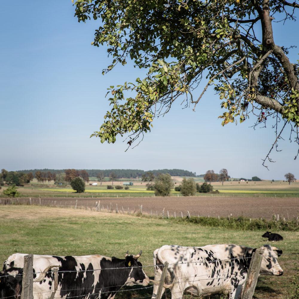 Kühe von Gut Kerkow Hoflieferanten vom Hof in die Stadt