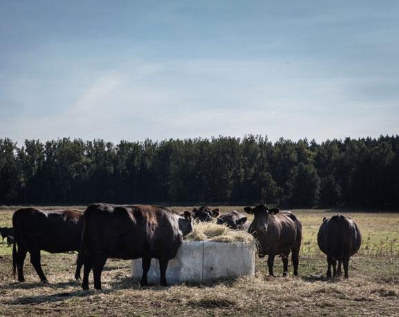 Kühe vom Gut Kerkow