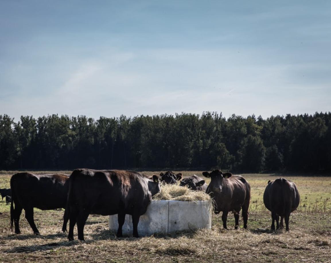 Kuehe von Gut Kerkow auf der Weide